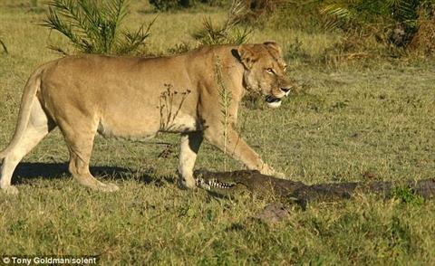 Cá sấu lên bờ trở thành mục tiêu của bầy sư tử
