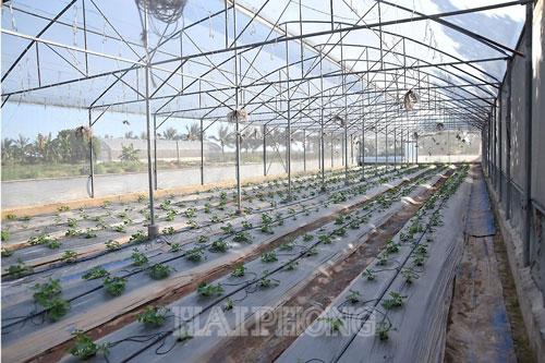 Tùy theo mùa, gia đình anh Hưng trồng dưa chuột Israel, dưa vân lưới Nhật Bản, dưa lê siêu ngọt… trên 2 nhà kính, mỗi nhà kính rộng 1.000m².