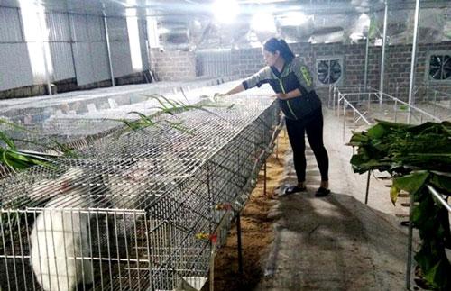 Chị Quách Thị Hồng Nhung, thị trấn Mãn Đức (Tân Lạc)chăm sóc đàn thỏ của gia đình.