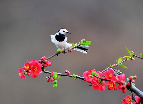 Chú chìa vôi đuôi trắng đang đậu trên cành hoa ở tỉnh Hà Nam, Trung Quốc.