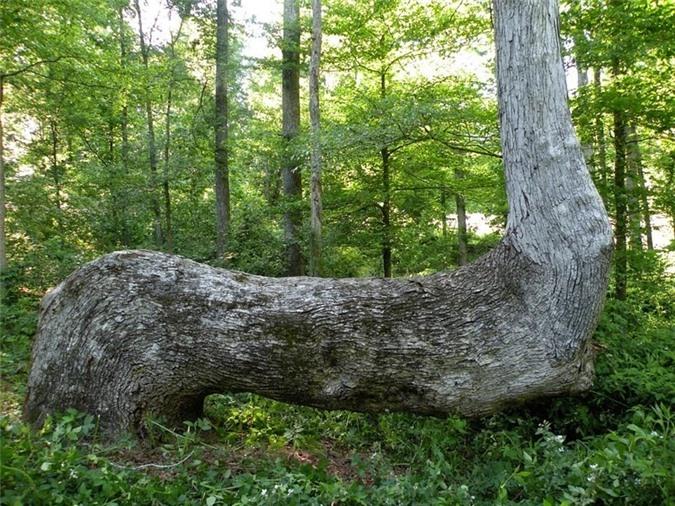 Bí mật những cây uốn cong bất thường của người Mỹ bản địa