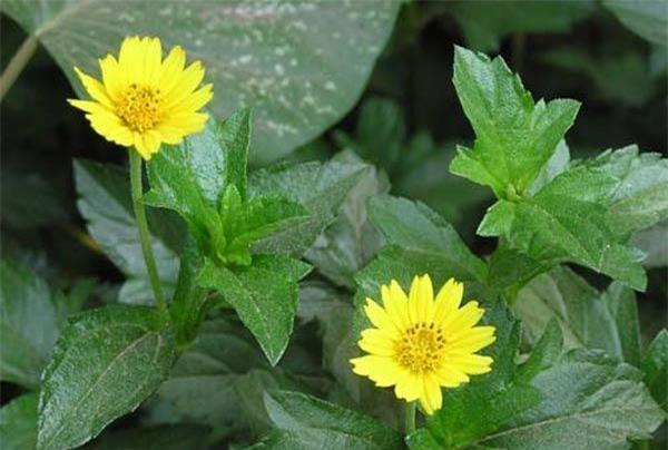 """Cách trồng hoa cúc dại """"dễ như chơi"""", tô điểm cho vườn nhà - 1"""