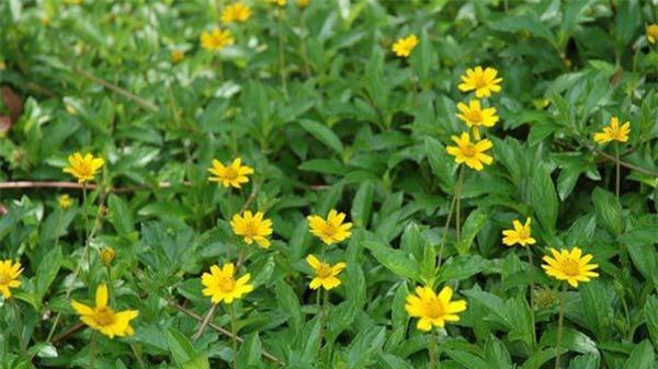 """Cách trồng hoa cúc dại """"dễ như chơi"""", tô điểm cho vườn nhà - 2"""