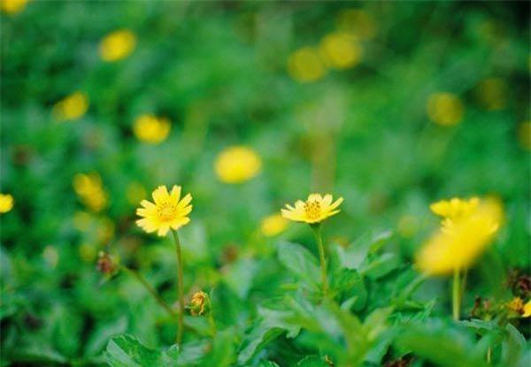 """Cách trồng hoa cúc dại """"dễ như chơi"""", tô điểm cho vườn nhà - 3"""