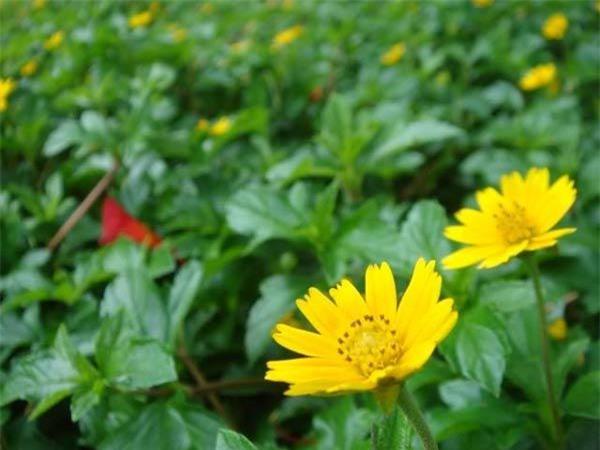 """Cách trồng hoa cúc dại """"dễ như chơi"""", tô điểm cho vườn nhà - 4"""