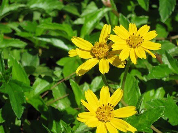 """Cách trồng hoa cúc dại """"dễ như chơi"""", tô điểm cho vườn nhà - 5"""