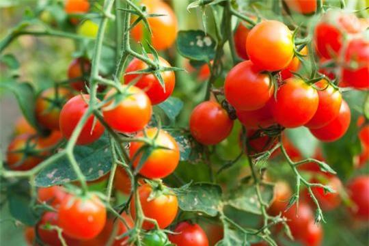 Cách chọn cà chua chín tự nhiên