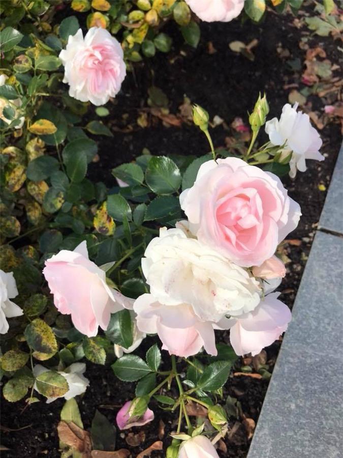 Hoa hồng bạch thơm ngát