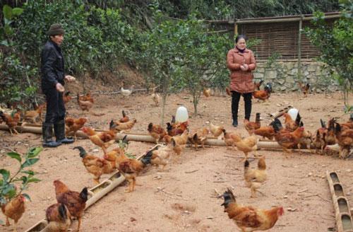Chị Nông Thị Liêm chăm sóc đàn gà.