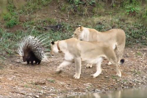 Sư tử không thể bắt được chú nhím.