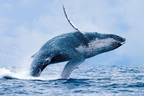 Cá voi lưng gù.