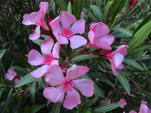 9 loại hoa đẹp nhưng cực độc, tuyệt đối không trồng trong nhà có trẻ nhỏ - 3