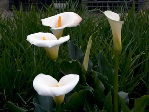 9 loại hoa đẹp nhưng cực độc, tuyệt đối không trồng trong nhà có trẻ nhỏ - 4