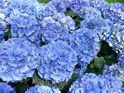 9 loại hoa đẹp nhưng cực độc, tuyệt đối không trồng trong nhà có trẻ nhỏ - 5