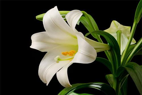 9 loại hoa đẹp nhưng cực độc, tuyệt đối không trồng trong nhà có trẻ nhỏ - 7