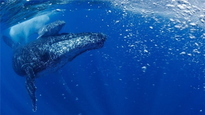 Cá voi lưng gù 'hồi sinh' sau khi gần tuyệt chủng - ảnh 1