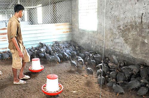 Theo những nông dân tại miền Tây, gà sao có nguồn gốc từ gà rừng, có sức đề kháng mạnh, thích nghi nhanh với điều kiện khí hậu, thổ nhưỡng tại ĐBSCL, đầu ra luôn ổn định.