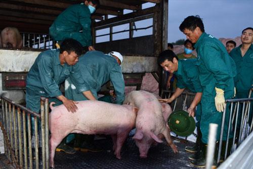 Giá lợn hơi Thái Lan khi nhập về Việt Nam được bán ở mức 81.000 - 82.000 đồng/kg (Ảnh: Internet)