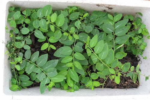 Cách trồng rau ngót trong thùng xốp và mẹo cực hay giúp rau lên mơn mởn