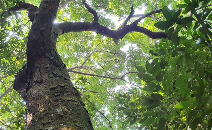 Những gốc lim cổ thụ vẫn đứng vững trên rừng