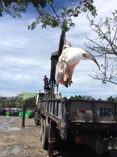 Cá đuối có tên khoa học  là Manta Birostris vừa được ngư dân La Gi bắt được phải dùng cẩu loại lớn mới đưa được lên bờ