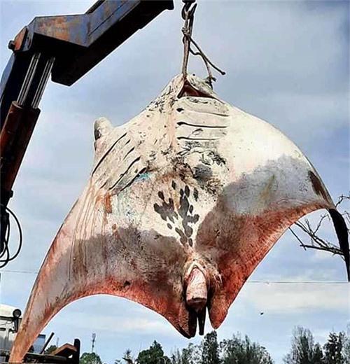 Cá Đuối Nạng nặng 800 kg được coi là lớn nhất từ trước đến nay do ngư dân Bình Thuận bắt được