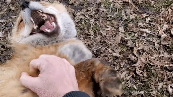 """Những chú cáo được giải cứu từ trang trại lông thú làm """"tan chảy"""" trái tim người xem khi cười toe toét, vẫy đuôi mừng và vui đùa như thú cưng - Ảnh 3."""