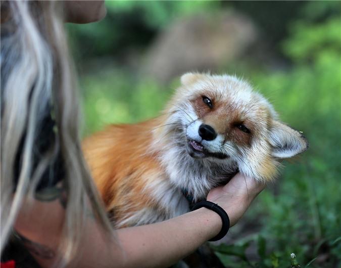 """Những chú cáo được giải cứu từ trang trại lông thú làm """"tan chảy"""" trái tim người xem khi cười toe toét, vẫy đuôi mừng và vui đùa như thú cưng - Ảnh 8."""