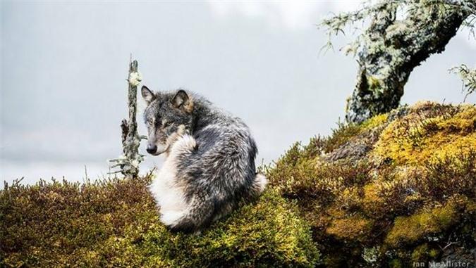McAllister còn cho biết thêm, Chúng có hành vi khác biệt so với sói đất liền, thường xuyên bơi từ đảo này sang đảo khác và săn bắt cá...