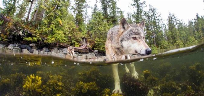 Trong bộ ảnh về sói biển đã đạt giải, McAllister đã bắt được những khoảng khắc kỳ diệu. Khi ông bơi về phía chúng: Hàng răng nanh sáng bóng ở gần đến nỗi tôi có thể nghe thấy những tiếng gầm nghẹn ngào trong cuống họng của những con sói. Tôi đã chụp vô vàn kiểu ảnh rồi từ từ lặn xuống nước, không dám nhìn lên...