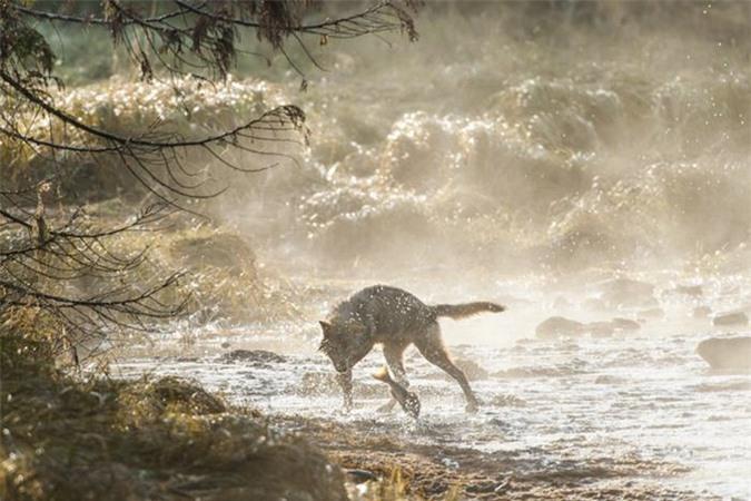 Chúng cũng là những tay bơi cừ khôi, kỷ lục của loài sói biển mà các nhà khoa học đã ghi nhận là bơi liên tục 12km giữa các hòn đảo.