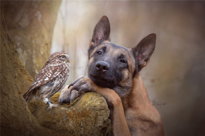 Tan chảy trước những khoảnh tình bạn ấm áp giữa cú mèo và chó béc-giê - Ảnh 21.