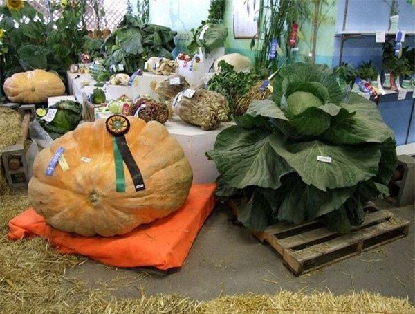 Tròn mắt trước những loại rau củ quả khổng lồ ở Alaska và lý giải cho điều lạ lùng này - Ảnh 1.