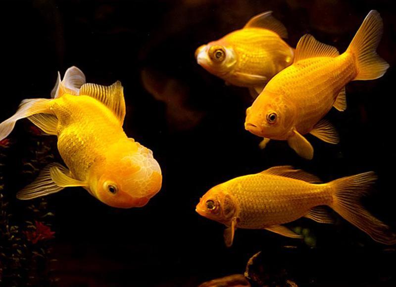 Nếu trong giấc mơ, bạn thấy một bầy cá đang tung tăng bơi lội, giấc mơ đó chính là điềm báo cho tài lộc. Bầy cá đến cũng như tiền bạc ào ào chảy vào nhà.