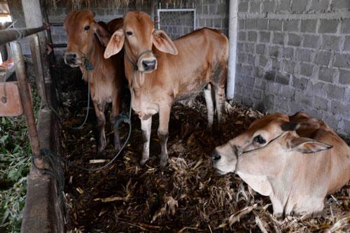 Đàn bò vỗ béo của người dân xã Kim Thạch cho thu nhập ổn định. Ảnh: Kế Toại.