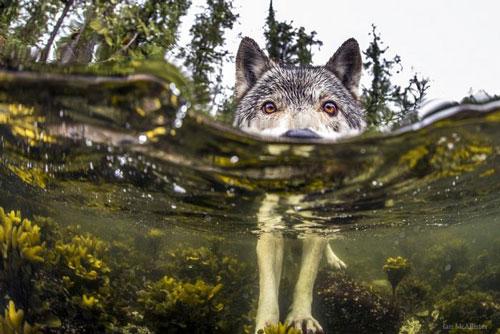 Dọc theo bờ biển Thái Bình Dương hoang sơ thuộc khu vực British Columbia, Canada, có một số lượng khá lớn những con sói biển