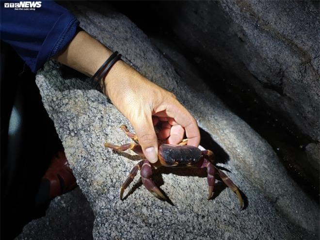 Trắng đêm theo chân thợ săn cua đá trên đảo Cù Lao Chàm - 3