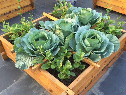 CLIP: Hướng dẫn sử dụng bao tải tái chế trồng rau bắp cải tại nhà