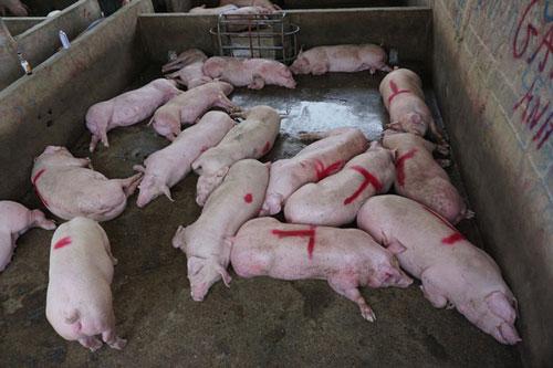 Giá lợn hơi vẫn duy trì ở mức cao. (Ảnh minh họa: Dân trí)