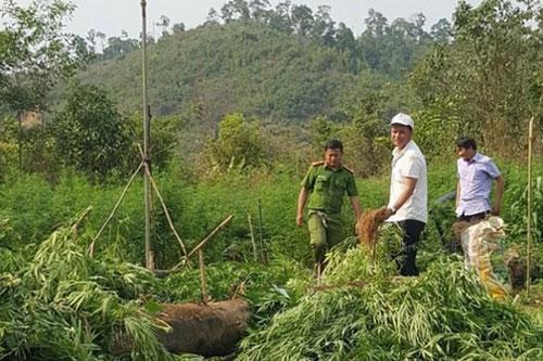 Đắk Lắk: Nghe lời dụ dỗ, người dân trồng cần sa trên đất rẫy để lấy lá cho gà ăn