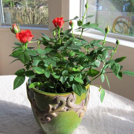 Hiện nay, trồng hoa hồng bằng khoai tây là một trong những cách trồng mang lại hiệu quả cao và được nhiều người áp dụng.