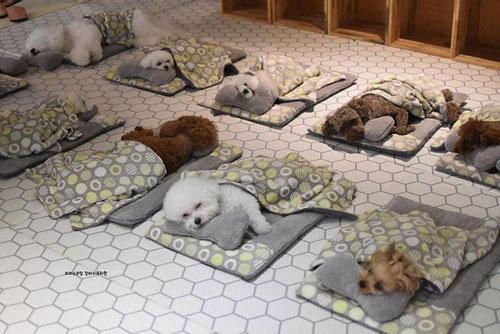 """Hình ảnh đáng yêu về lũ cún con ngủ siêu ngoan trong """"nhà trẻ chó"""""""