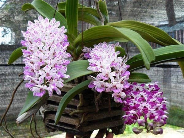 Cách trồng hoa lan trong chậu và kĩ thuật nhân giống cho hoa to, đẹp bốn mùa - 1