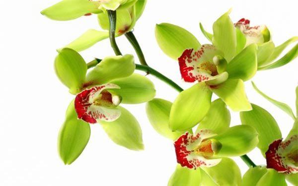 Cách trồng hoa lan trong chậu và kĩ thuật nhân giống cho hoa to, đẹp bốn mùa - 11