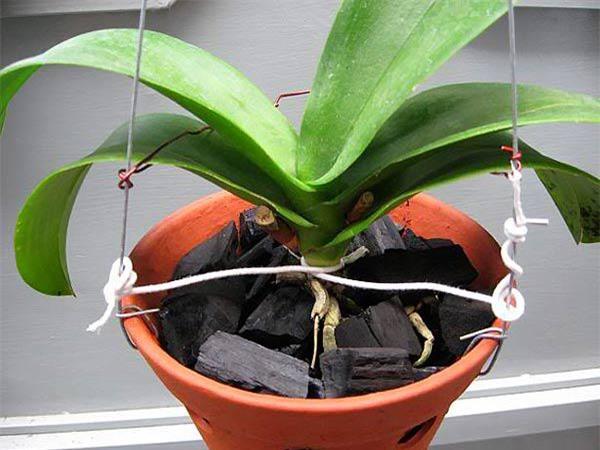 Cách trồng hoa lan trong chậu và kĩ thuật nhân giống cho hoa to, đẹp bốn mùa - 4