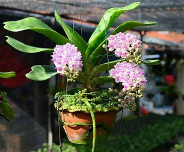 Cách trồng hoa lan trong chậu và kĩ thuật nhân giống cho hoa to, đẹp bốn mùa - 8