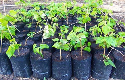 Cách trồng hoa thiên lý đơn giản vừa có rau ăn vừa có bóng mát, hoa thơm - 3