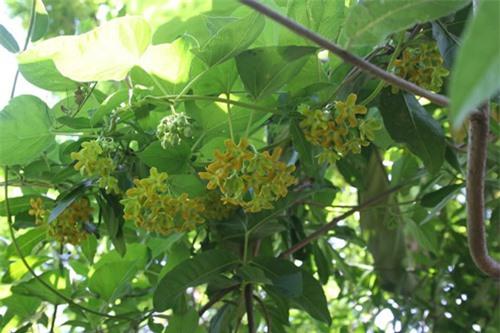Cách trồng hoa thiên lý đơn giản vừa có rau ăn vừa có bóng mát, hoa thơm - 5