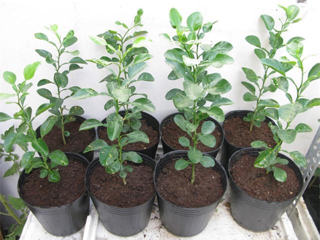 Mách chị em cách trồng chanh trong chậu cực dễ cho cây sai trĩu quả, hái mỏi tay - 2