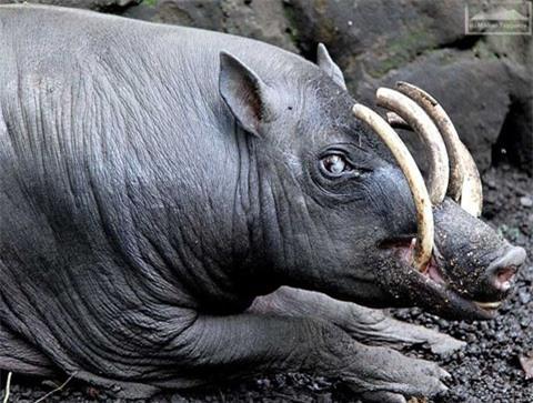 Một loài lợn ở Indonesia sở hữu vẻ ngoài kỳ lạ. Hai chiếc răng nanh cao vút và hai chiếc sừng mọc ngay trên sống mũi đầy kỳ lạ.